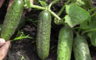 Как вырастить ранние огурцы, в том числе без теплицы: сорта, особенности выращивания, посадка и уход