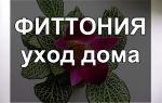 Фиттония — уход за растением дома