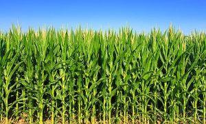 Технология возделывания кукурузы на силос: экономическая эффективность, обработка почвы