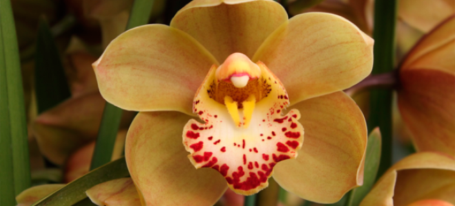 Грамотный уход за орхидеей Цимбидиумом