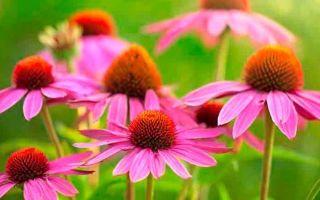Эхиноцея : выращиваем в домашних условиях, полив, пересадка и особенности почвы