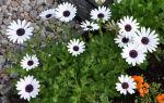 Диморфотека : выращиваем в домашних условиях, полив, пересадка и особенности почвы