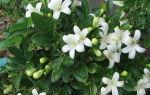Мурайя — уход за растением в домашних условиях