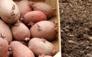 Обработка картофеля перед посадкой от проволочника и колорадского жука: чем можно защитить клубни от поражения вредителей