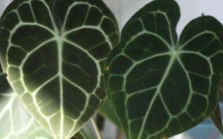 Алоказия — правила ухода за тропической незнакомкой