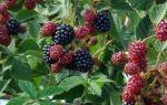 Грамотная обрезка ежевики осенью помогает увеличить урожайность в разы