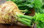 Сельдерей корневой — сорта и виды, особенности посадки и ухода