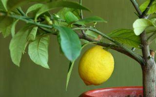 Пересадка и размножение лимона в домашних условиях — пошаговая инструкция
