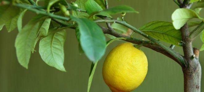 Пересадка и размножение лимона в домашних условиях