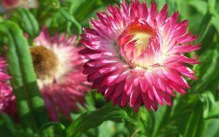 Гелихризум : выращиваем в домашних условиях, полив, пересадка и особенности почвы