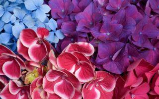 Почему не цветет гортензия — решение вопроса!