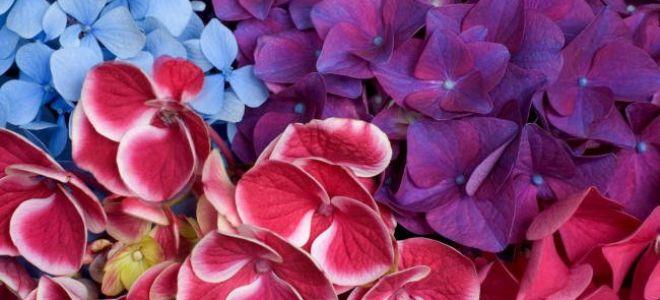Почему не цветет гортензия
