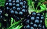 Ежевика — выращивание с умом для получения стабильно высоких урожаев