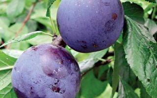 Слива ренклод: популярные сорта, в том числе советский и колхозный, особенности выращивания в домашних условиях