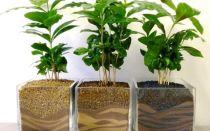 Грамотный уход за кофейным деревом в домашних условиях