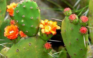 Опунция (Opuntia) — описание и уход за растением
