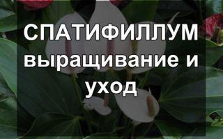 Спатифиллум — правильный уход за растением
