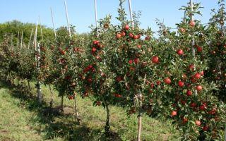 Колоновидные и карликовые яблони — посадка и уход
