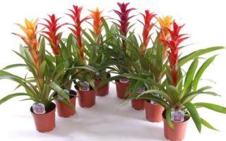 Уход и выращивание Гузмании в домашних условиях