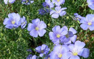 Лён : выращиваем в домашних условиях, полив, пересадка и особенности почвы