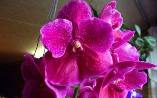 Уход за орхидеей ванда в домашних условиях