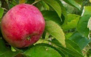 Как вырастить яблоню — полив, уборка яблонь и сроки обрезки