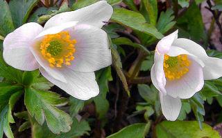 Анемона : выращиваем в домашних условиях, полив, пересадка и особенности почвы