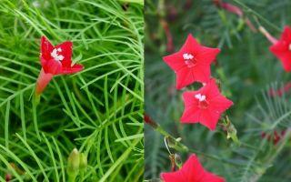 Квамоклит — вьющаяся лиана : выращиваем в домашних условиях, полив, пересадка и особенности почвы