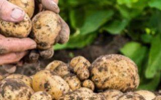 Как размножается картофель, особенности размножения ростками, семенами, глазками и другими способами