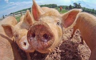 Содержание свиней в домашних условиях и уход за ними — важные правила для фермера