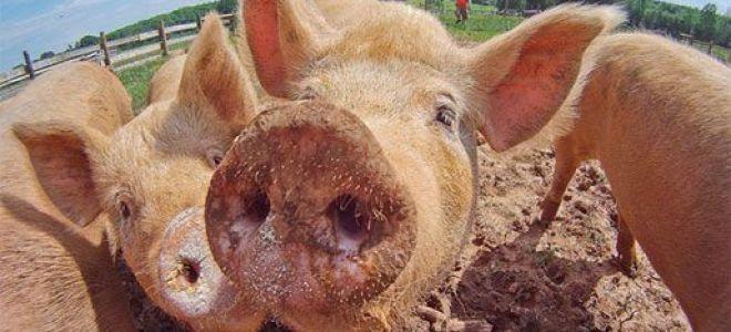 Содержание свиней в домашних условиях и уход за ними