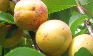 Как вырастить абрикос из косточки – пошаговая инструкция