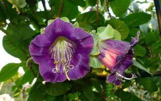 Кобея : выращиваем в домашних условиях, полив, пересадка и особенности почвы