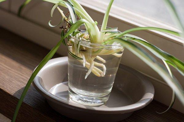 прорастает в стакане с водой