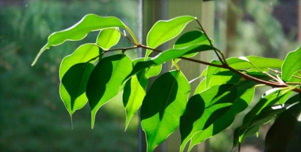 микроклимат для выращивания фикуса наташа
