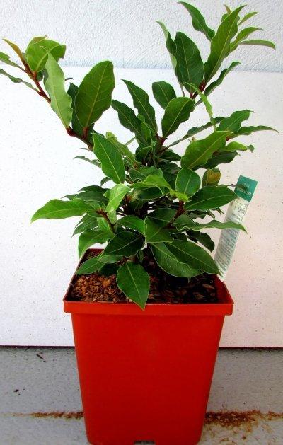 полезные свойства лаврового дерева