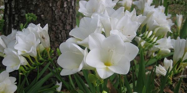 крупные белые цветы