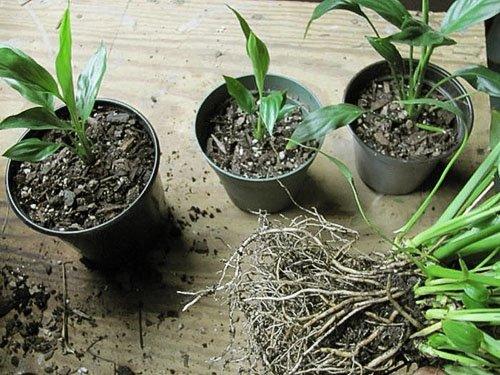 Спатифиллум в домашних условиях: уход, почему чернеют листья и тд