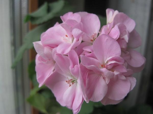 розовые цветки