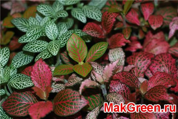 глянцевые листья с белым узором