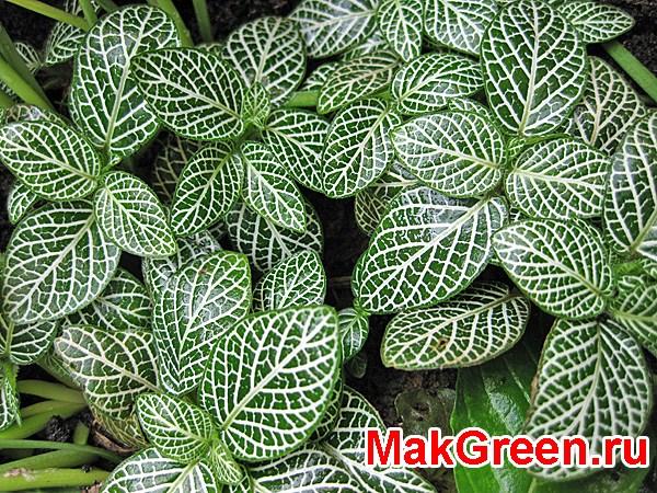 яркие листья фиттонии