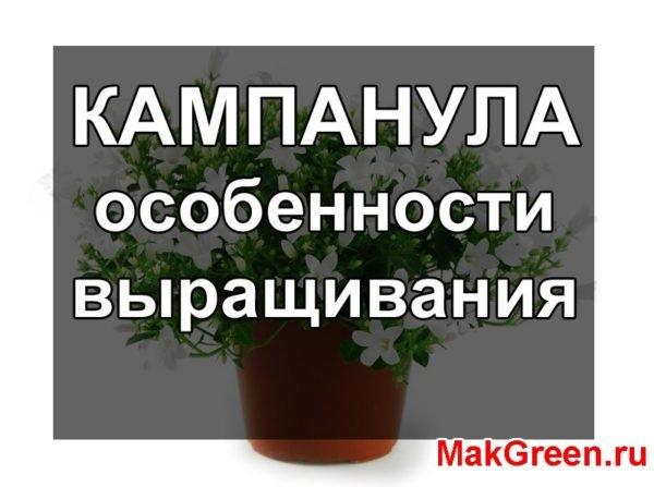 Кампанула - выращивание в домашних условиях