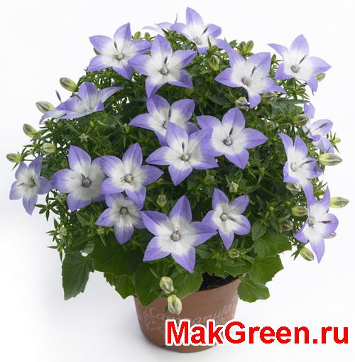 цветок кампанулы