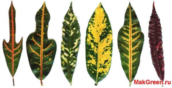 листья кротона