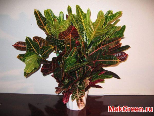 растение кротона