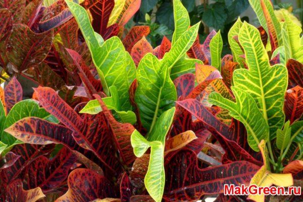 листья кодиеума