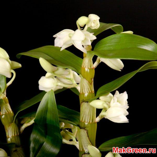 ствол орхидеи