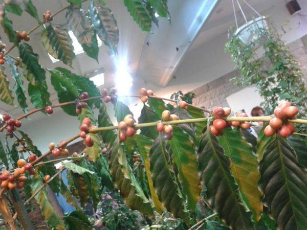 размножение кофейного деревца