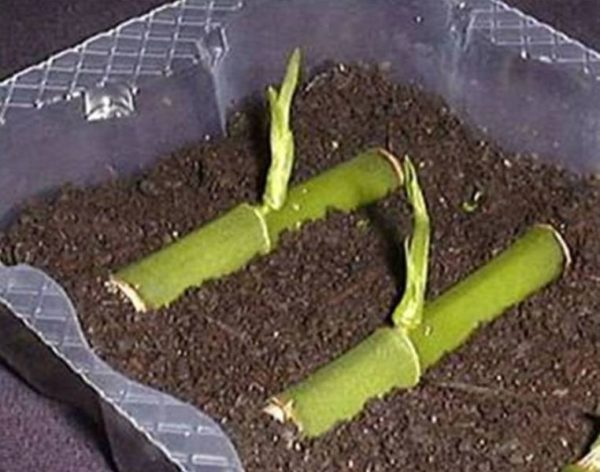 Орхидея Камбрия: уход в домашних условиях, полив и другие нюансы