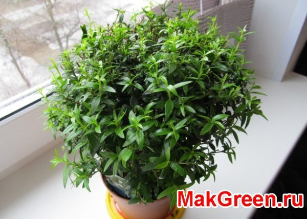 Мирт растение